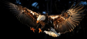 cropped-cropped-Animals___Birds____Eagle_attacks_prey_071315_-1.jpg