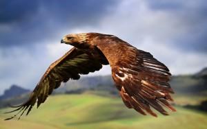 Animals_Birds_Eagle_in_flight_034251_